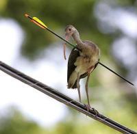 Ibisarrow